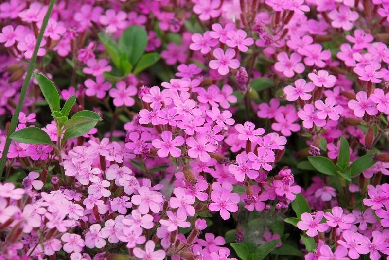 Paretiverdi piante tappezzanti le caratteristiche delle for Piante perenni per bordure